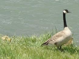 goose5